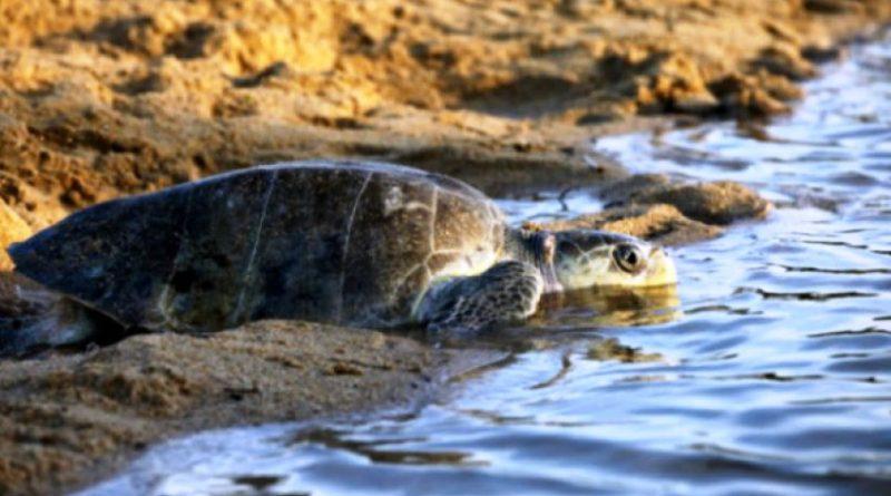 Inicia el Arribo de Tortugas a Costas Michoacanas