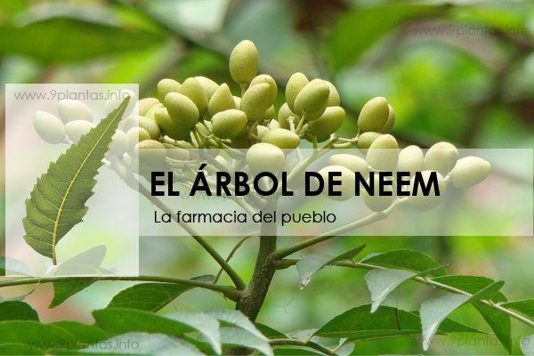 Desarrolla  Docente de UVM Alimento Funcional de Banano Verde y Neem, una Alternativa para Controlar los Niveles de Azúcar en Personas Diabéticas