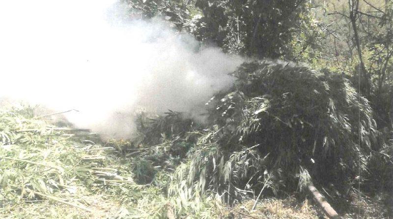 Inicia PGR 2 Carpetas de Investigación Tras Hallazgo de 77 mil Plantas de Marihuana en Jalisco